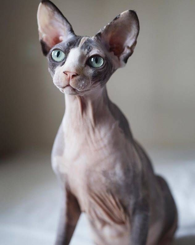 Sphynx Cat Breed Meow Lifestyle Purebred Cats Cat Rescue Sphynx