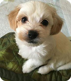 San Diego Ca Havanese Yorkie Yorkshire Terrier Mix Meet Cassie A Puppy For Adoption Terrier Mix Havanese Yorkie Yorkshire Terrier