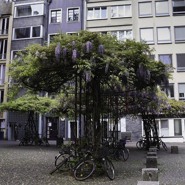 Wisteria Umbrellas Cologne by Teresa Mucha