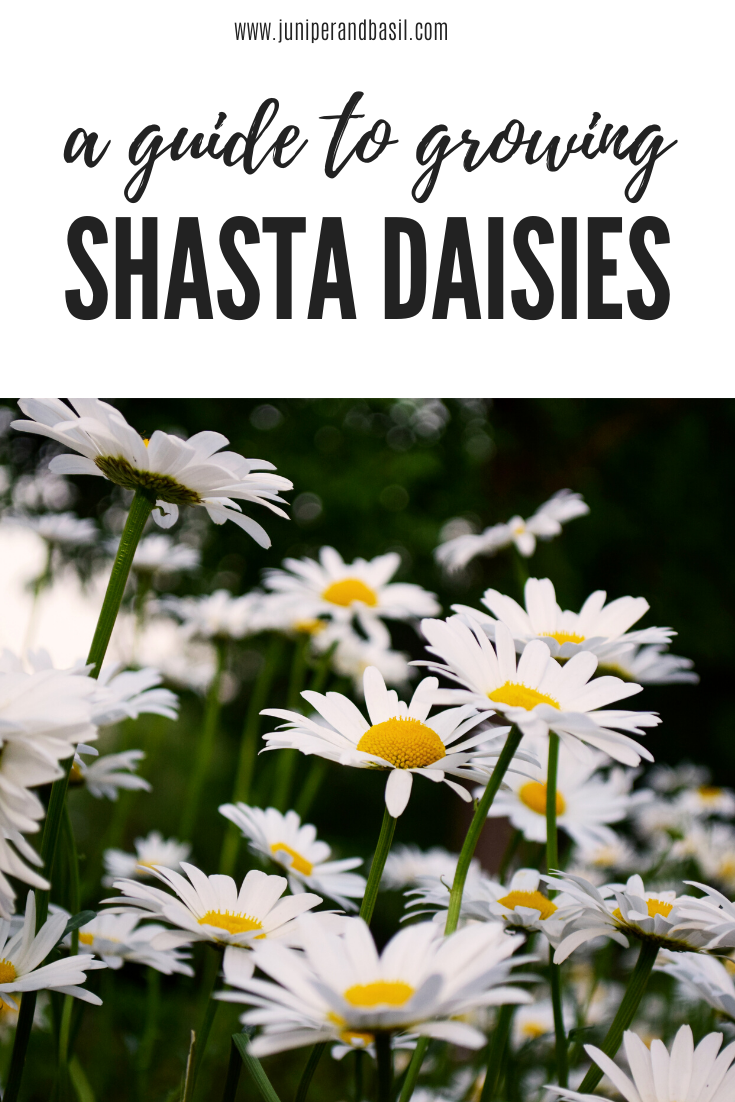 Here's a simple guide to growing shasta daisies in your garden!   #gardening #gardeningtips #flowers #howtos #daisies #daisy #shastadaisy #gardenblog #gardeningblog #careguide #diy
