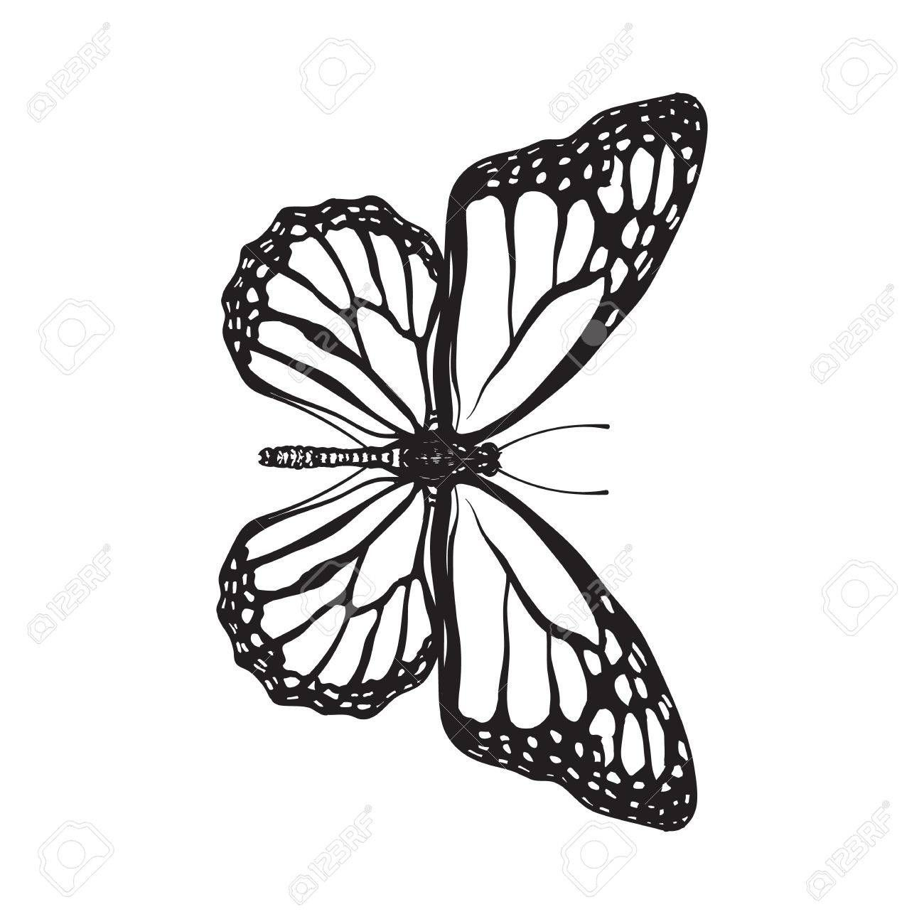 Vista Superior De Hermosa Mariposa Monarca La Ilustracion Boceto Aislado En El Fondo Blanco Blanco Butterfly Tattoo Designs Butterfly Sketch Butterfly Drawing