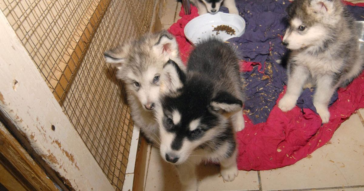 Vet And His Assistant Keep 12 Husky Dogs In Squalor Under Trap