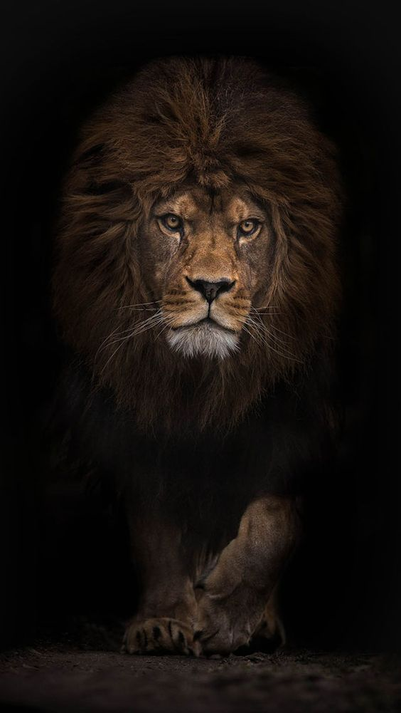 Resultado De Imagen Para Lion Wallpaper Tumblr Lion