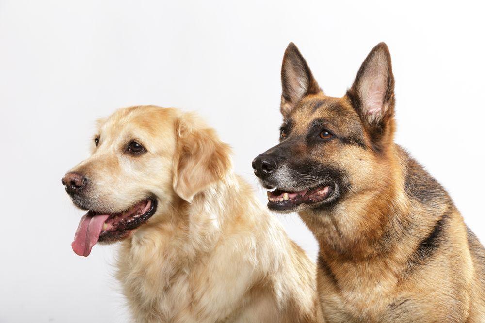 Golden Retriever Vs German Shepherd Germanshepherd Dog Breeds