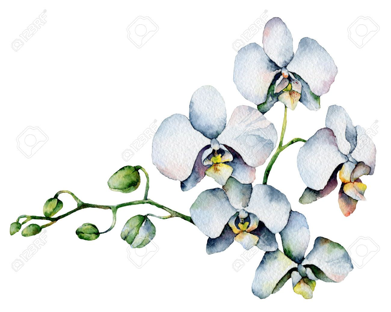 27451634-Single-orchid-isolated-on-white-background-Watercolor-Painting-Stock-Photo.jpg (1300×1040)