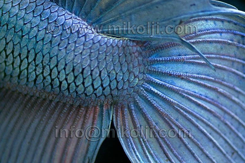 siamese fighting fish close up macro fins scales