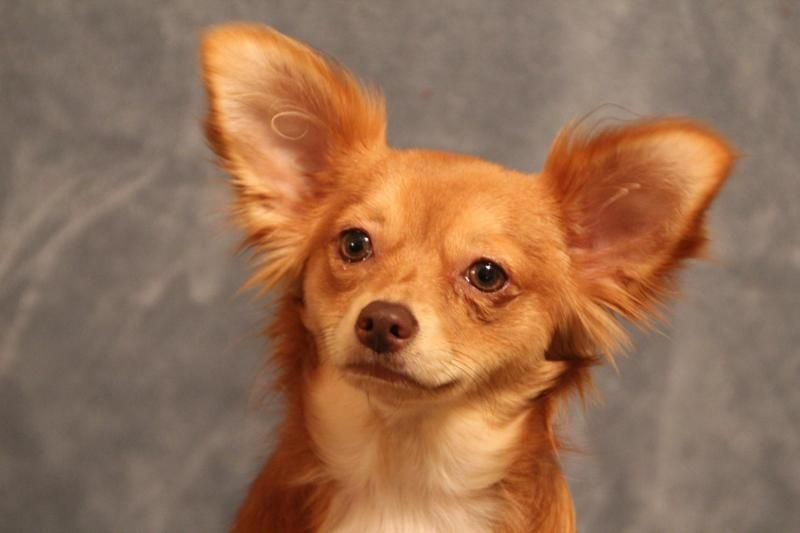 Adopt Curry On Pomeranian Chihuahua Mix Cute Animals