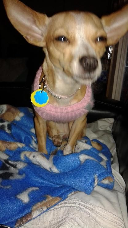 Chihuahua Dog For Adoption In Rochester Mn Adn 472610 On Puppyfinder Com Gender Female Age Baby With Images Dog Adoption Chihuahua Dogs Chihuahua