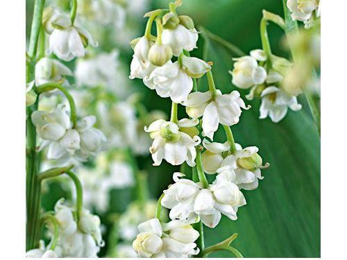 Lily Of The Valley Convallaria Majalis Garden Ideas Inspiration Aspiration Beautiful Flowers Garden Plants