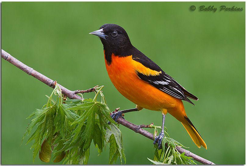 Baltimore oriole birds most beautiful birds beautiful