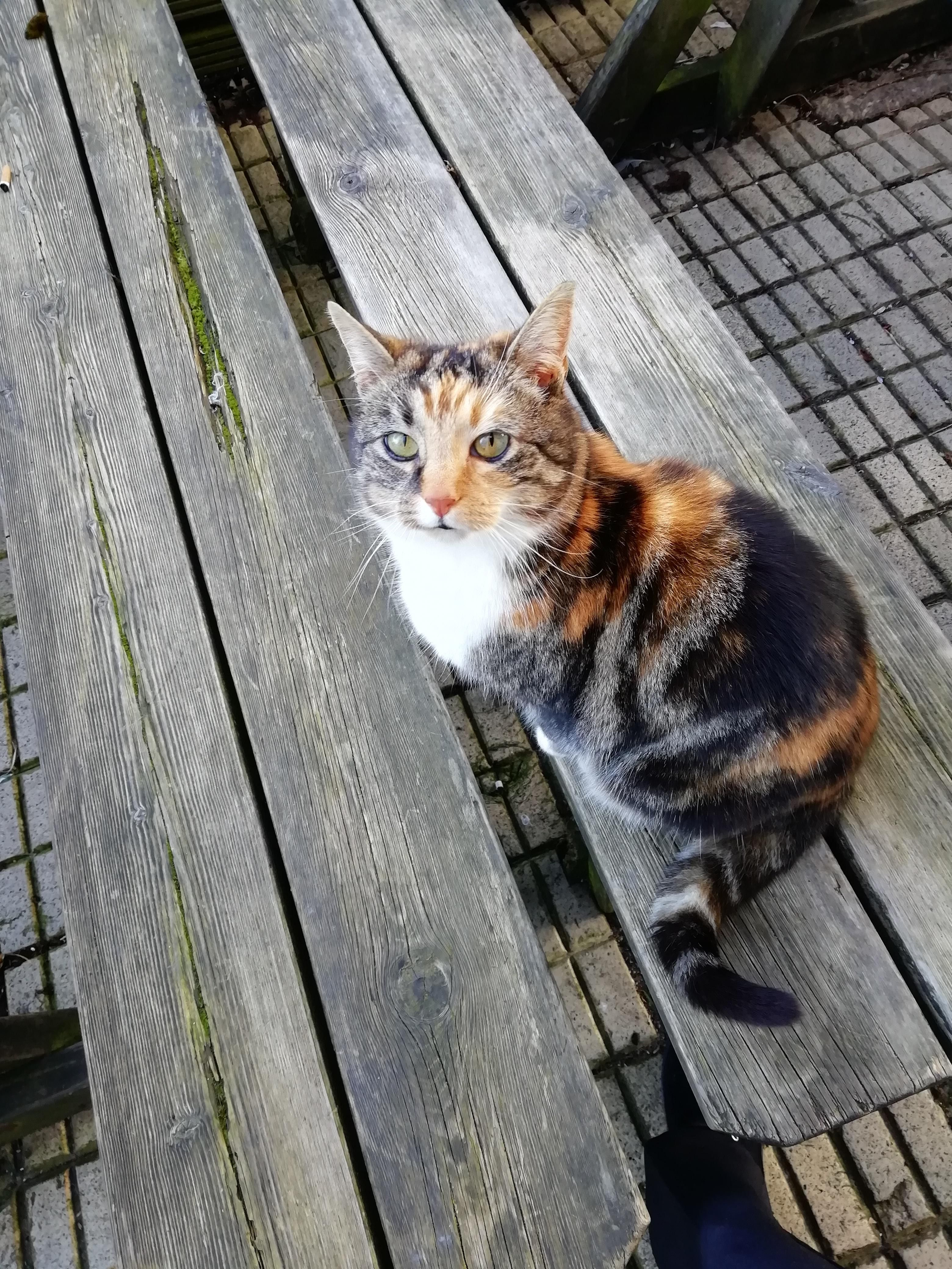 Beautiful calico who lives nearby Beautiful cats