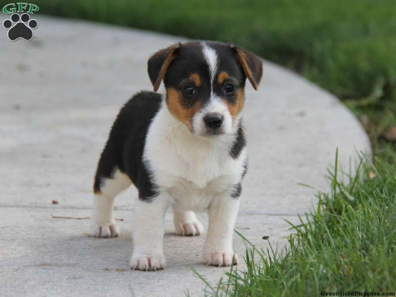 Pete Welsh Corgi Mix Puppy For Sale In Narvon Pa Greenfield