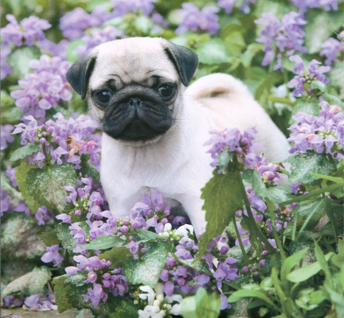 Pug Wallpaper Screensaver Background Pug Puppy Baby Pugs