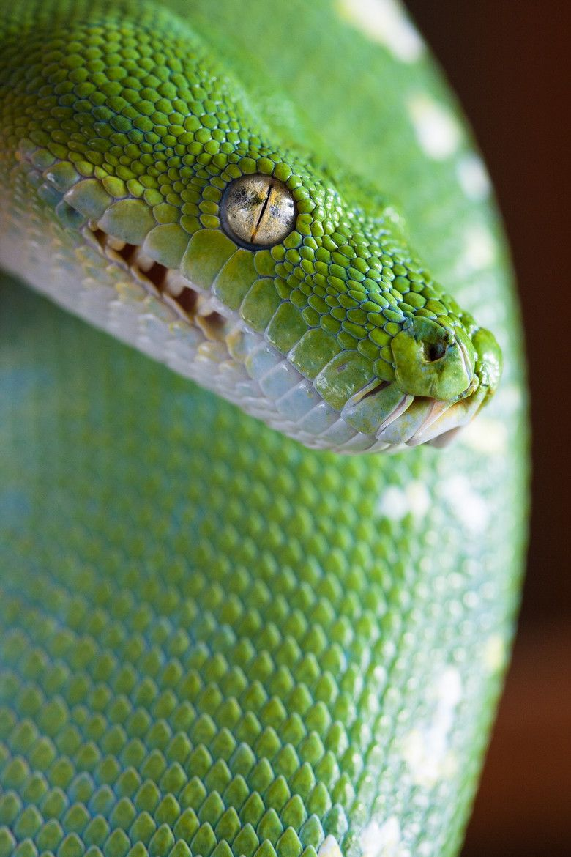 Green tree python 爬虫類恐竜両生類 pinterest python