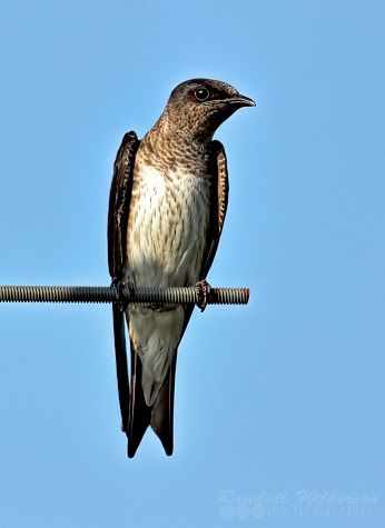 The purple martin is the largest North American swallow.