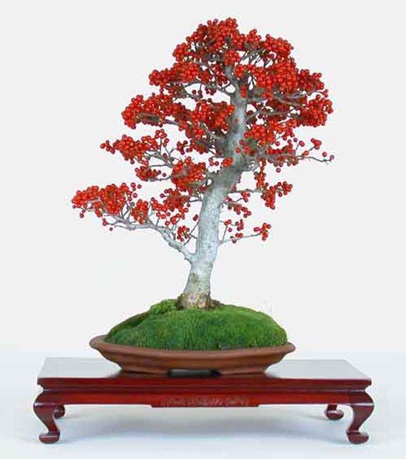 Ilex Aquifolium Christmas Common Holly * Bonsai Tree 10 Seeds