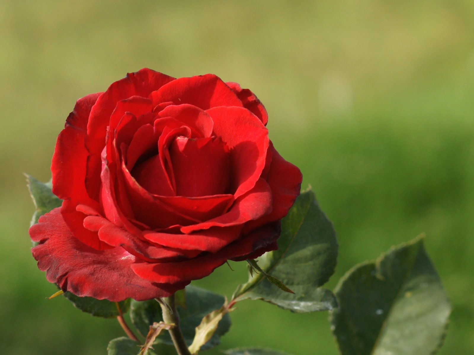 Valentine\'s Day Rose Color Meaning. Boydita Flowers Delivered ...