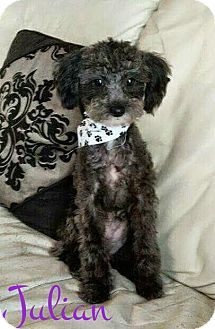 House Springs Mo Poodle Toy Or Tea Cup Brussels Griffon Mix