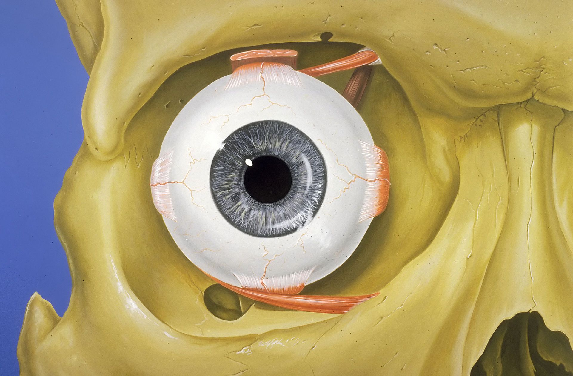 Eye orbit anatomy anterior2 - Human eye - Wikipedia, the free ...