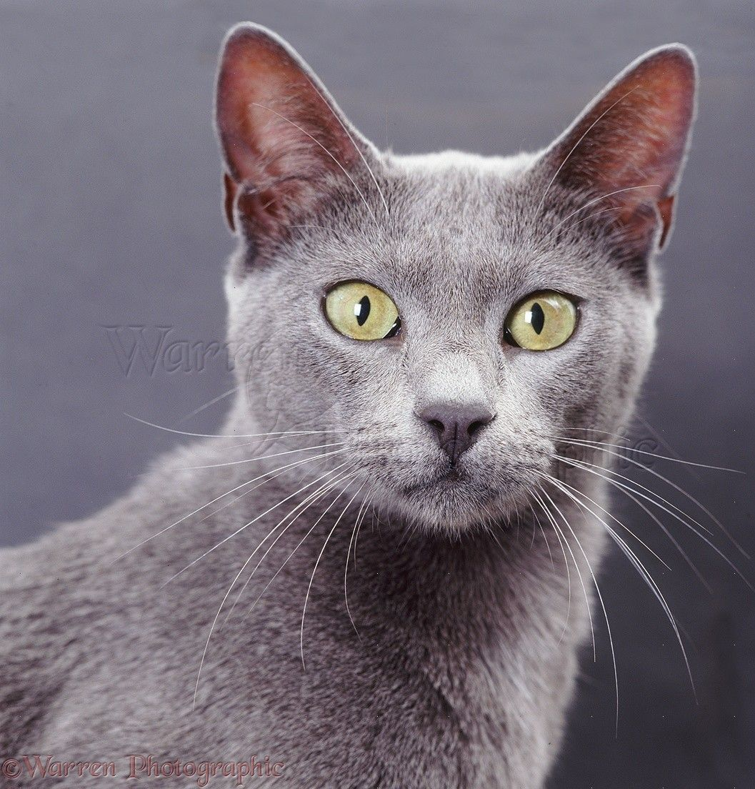 Blue Bengal X Burmese Cat On Grey Background Photo Gatti