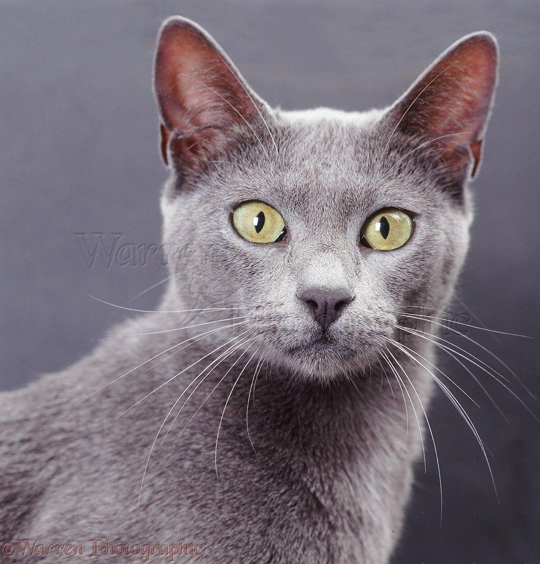 Blue Bengal X Burmese Cat On Grey Background Photo Gatti