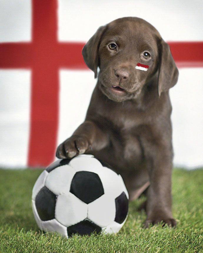 Brax Chocolate Labrador Labrador Retriever Puppies Animal Photography Dogs Chocolate Labrador