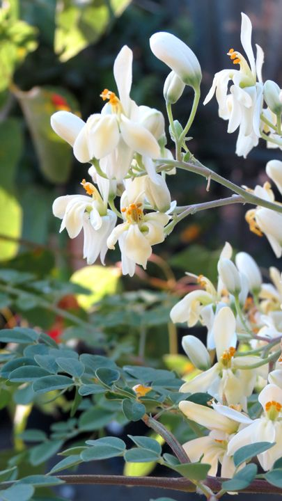 Flowers Of The Moringa Oleifera Aka Tree Of Life This Plant Has More Protein Than Soy Moringa Oleifera Miracle Tree Moringa Tree Healing Plants