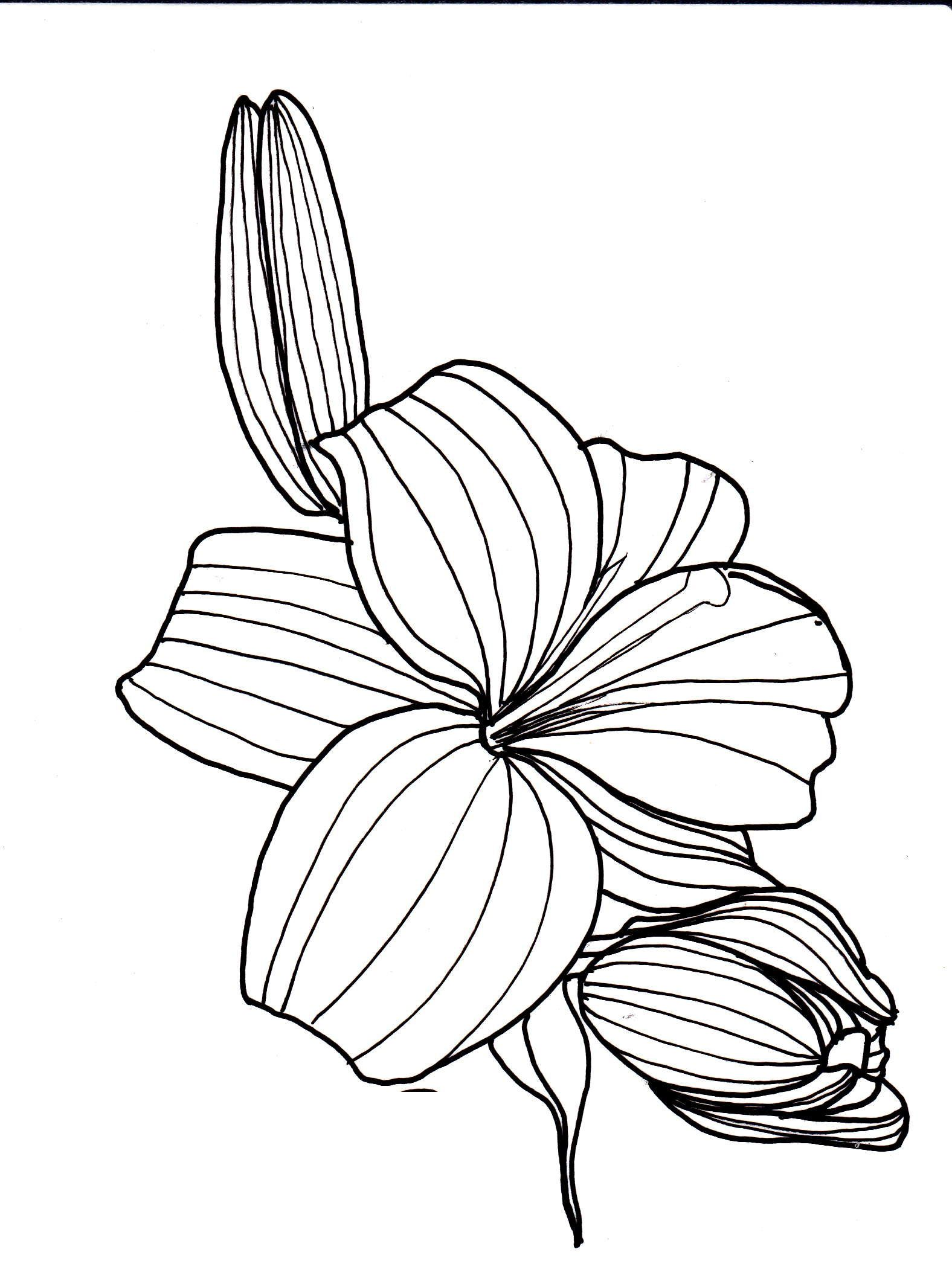 Line Drawing Of Lily Flower : Line drawing flowers lily drawings pinterest