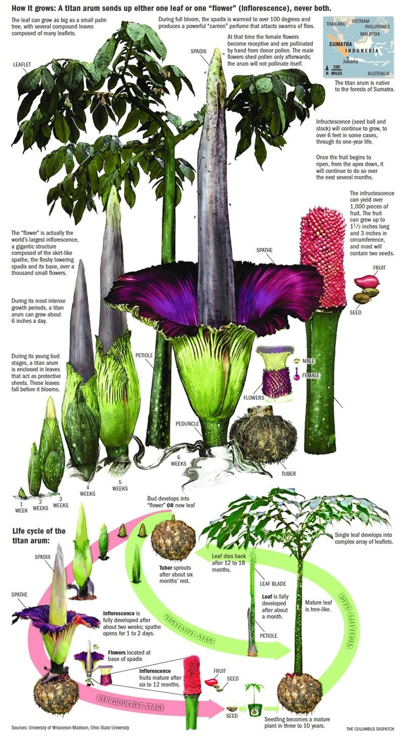 Like The Corpse Flower Post Learn More About How It Works I Love Reading About Stuff Like This All I Do All Day Lo Corpse Flower Weird Plants Pretty Plants