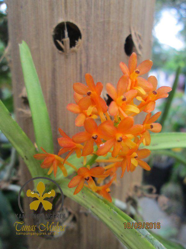Mengenal Anggrek Ascocentrum (Ascocentrum Orchid)  6ff8e9ac83