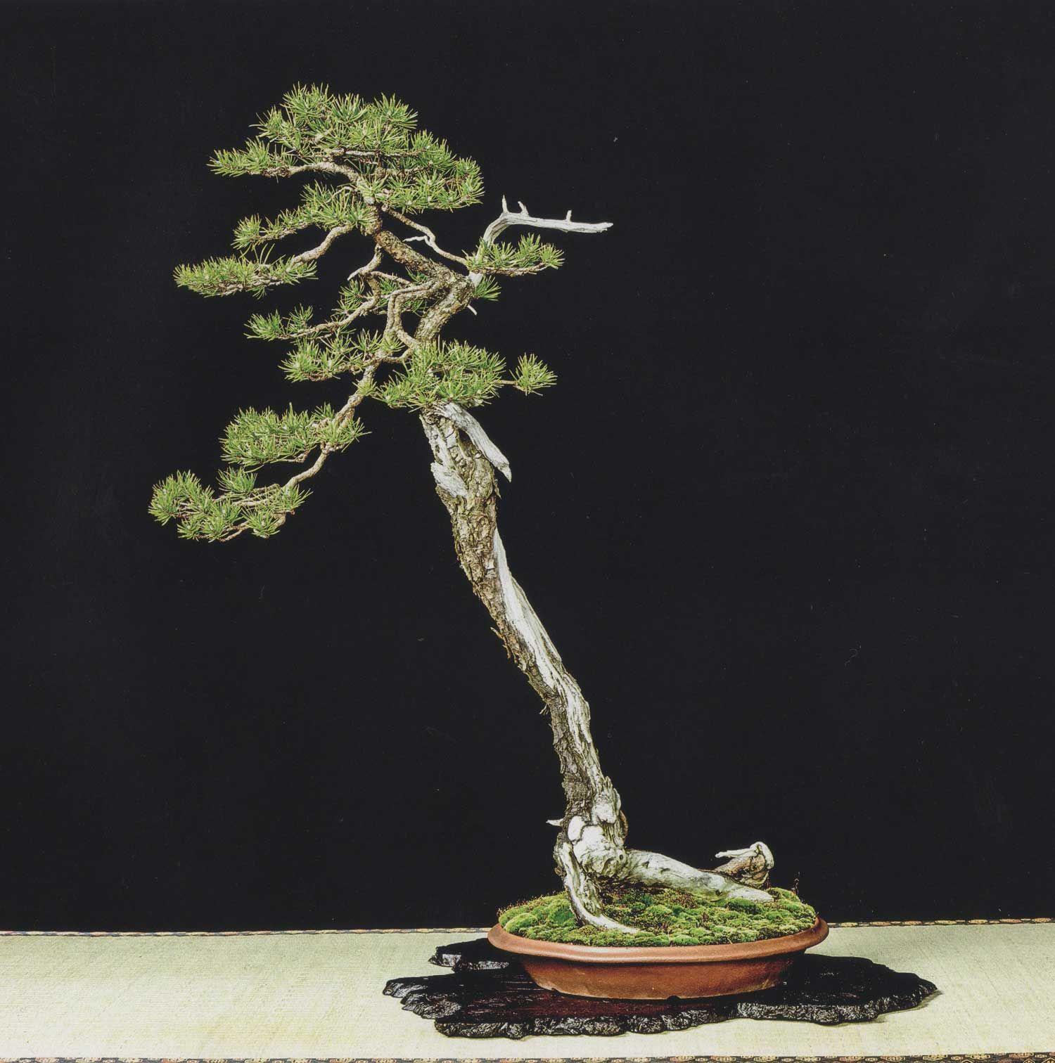 Pinus Banksiana By David J Of The Toronto Bonsai Society Perhaps The Finest Example Of A Jack Pine Bonsai And One Of My Persona Bonsai Art Pine Bonsai Bonsai