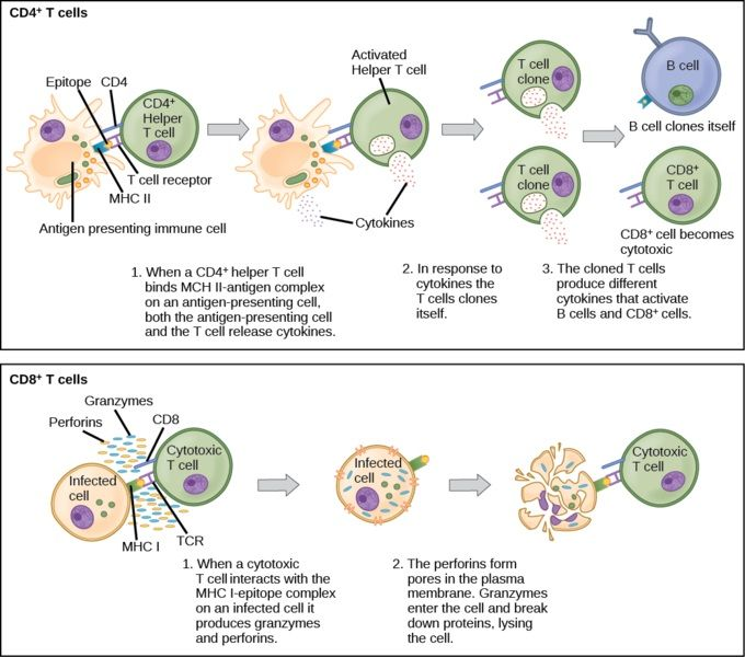 What is the Difference Between Cytotoxic T Cells and Helper T Cells