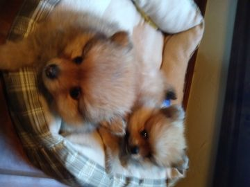 Litter Of 2 Pomeranian Puppies For Sale In Oklahoma City Ok Adn