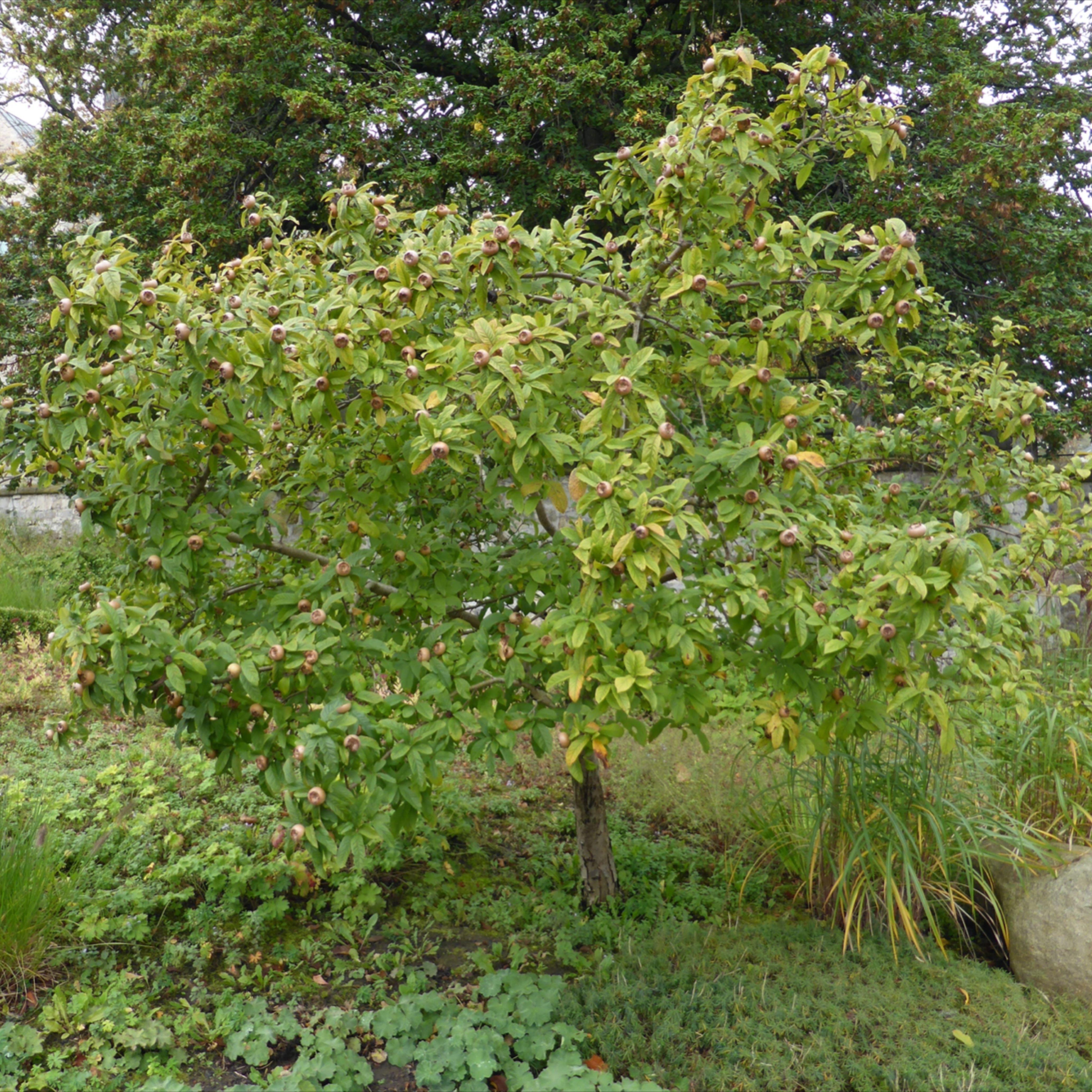 Mispel Ein Fast Vergessenes Obstgeholz In 2020 Obstgeholze Mispel Mispel Baum