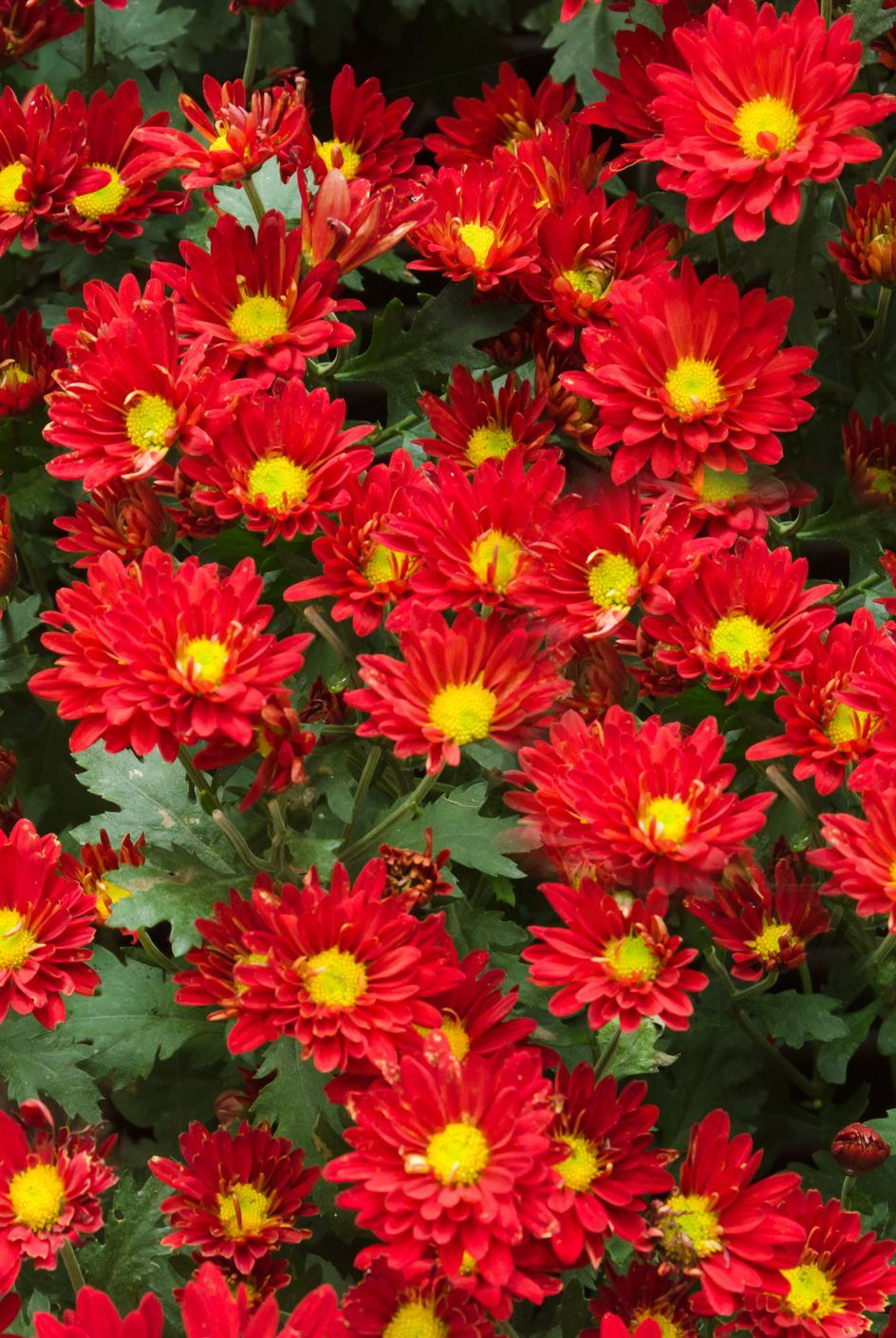The Meaning Behind Popular Valentine S Day Flowers Mums Flowers Chrysanthemum Flower Family Flowers