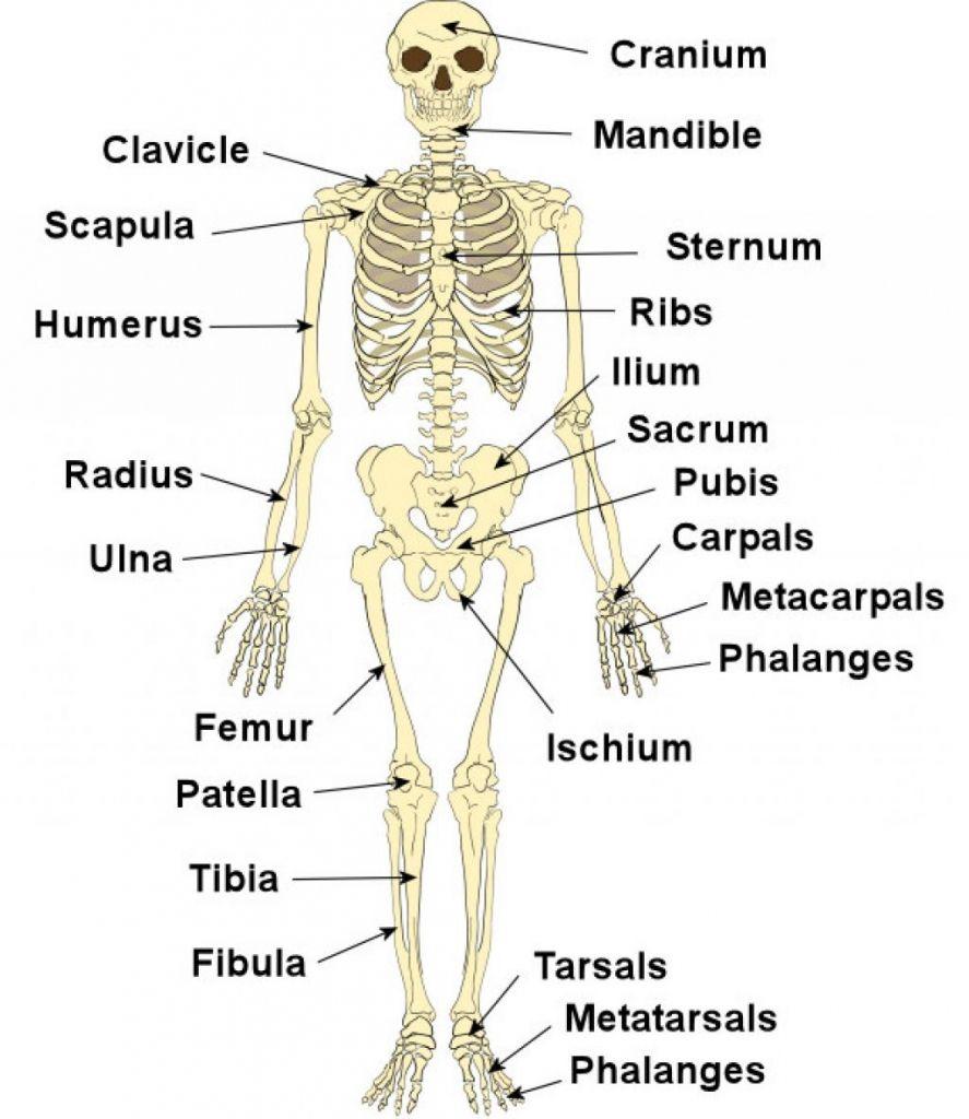 labeled human skeleton human skeleton label human body diagram veins body diagrams label body diagram label [ 887 x 1024 Pixel ]