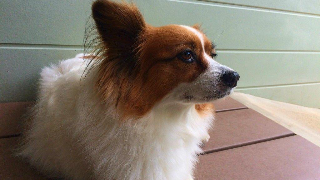 犬が足を浮かせる びっこ状態に 前十字靭帯損傷 断裂の治療法や手術費用は 犬 動物 手術