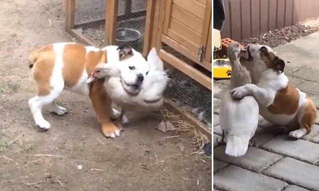 Video Shows A Duck And Puppy Who Formed The Most Unlikely Friendship Daily Mail Online Amazing Animals Puppies Play Fighting Friendship Love