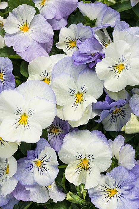 Anytime® Quartz - Pansiola - Viola x wittrockiana