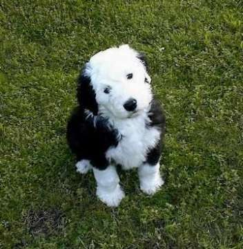 miniature english sheep dog old english sheepdog puppy photos the
