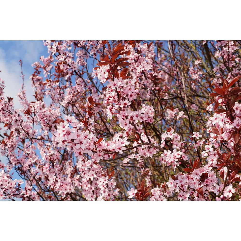 Online Orchards Kwanzan Cherry Blossom Tree Bare Root Flch001 The Home Depot In 2021 Flowering Cherry Tree Blossom Trees Cherry Blossom Tree