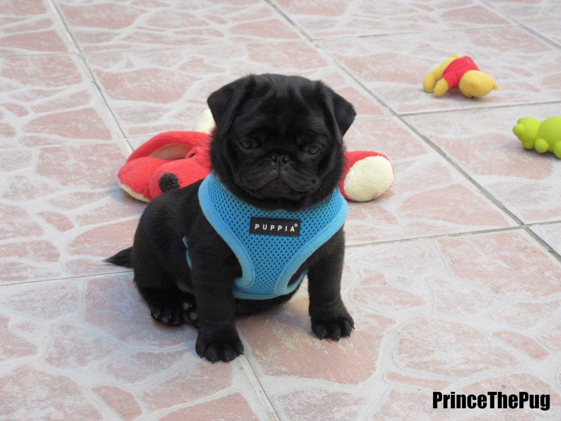 Puppia Blue Soft Harness Available At Www Ilovepugs Co Uk Sizes S