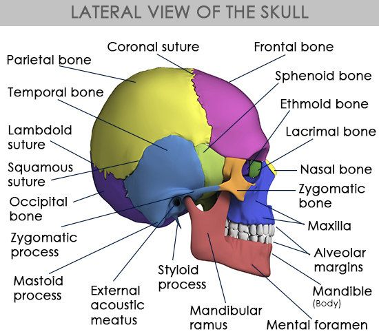 Anatomy and function of the occipital bone explained with a diagram lateral view of the skull ccuart Choice Image