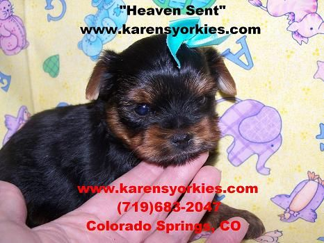 Yorkie Puppies For Sale In New York Yorkies For Sale In California
