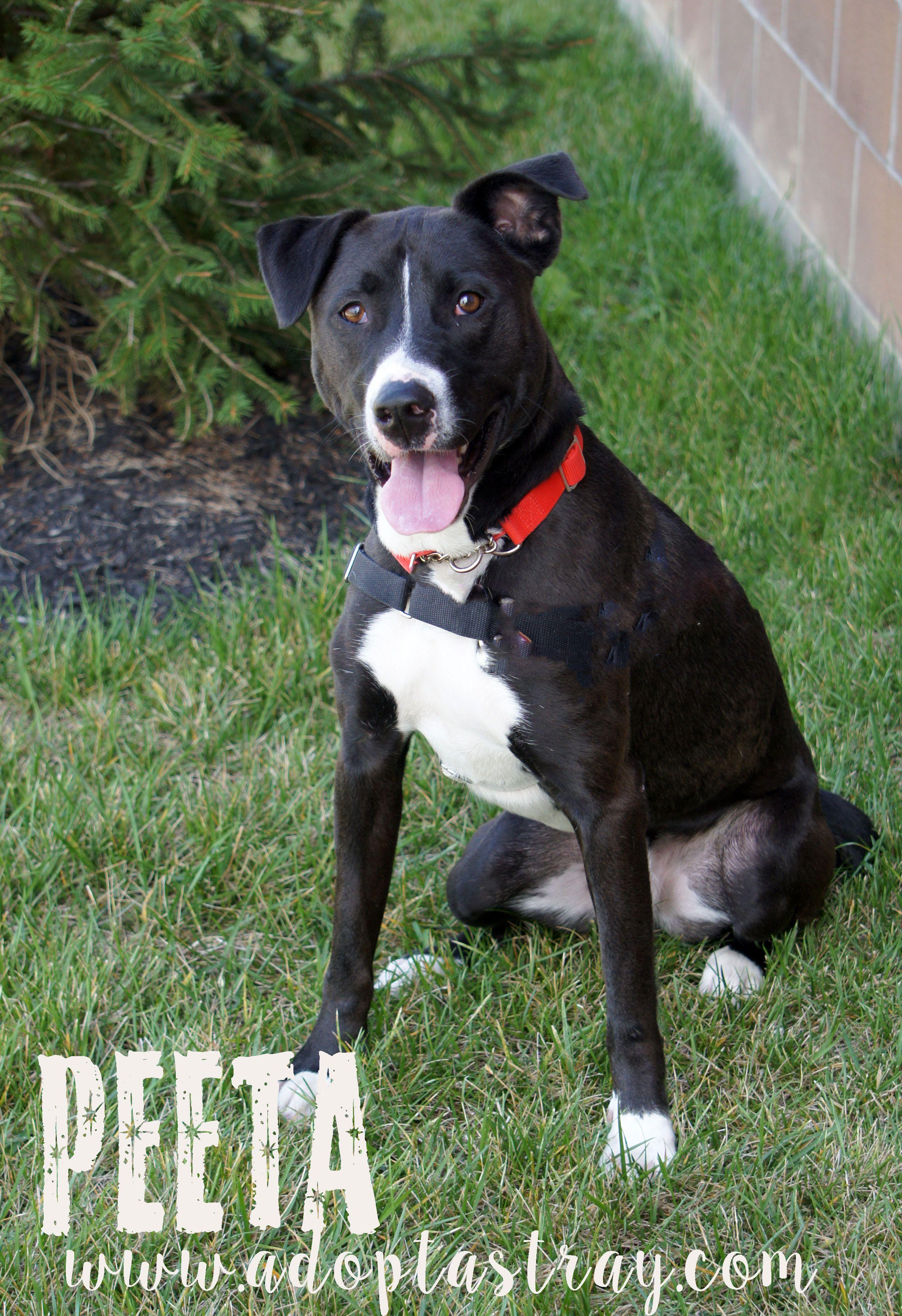 Boxador Dog For Adoption In Newport Ky Adn 659934 On Puppyfinder