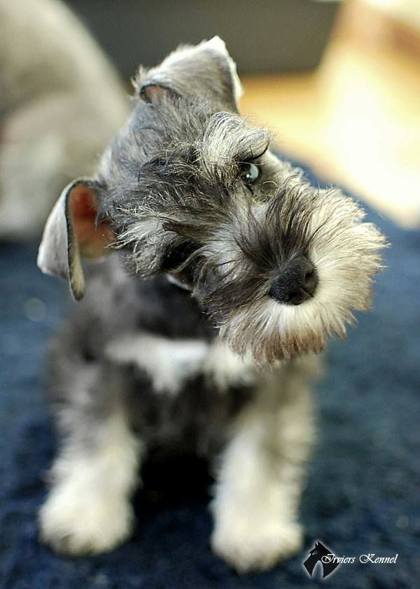 How To Get Your Dog S Attention 3 Easy And Fun Exercises Cute Animals Cute Baby Animals Schnauzer Puppy