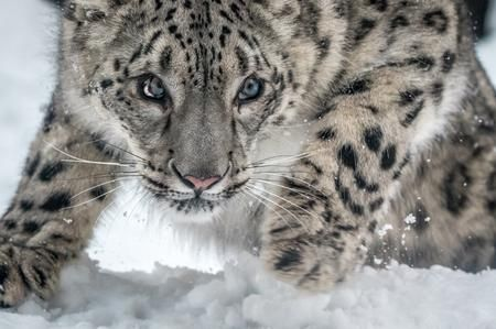 Snow Leopard A Second Into His Pounce Photo by Sean Lo — National Geographic Your Shot