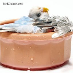 Do You Want To Know How To Give Your Bird A Bath Find Out In This