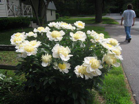Gimme White Peonies Garden White Flower Farm Peonies Garden