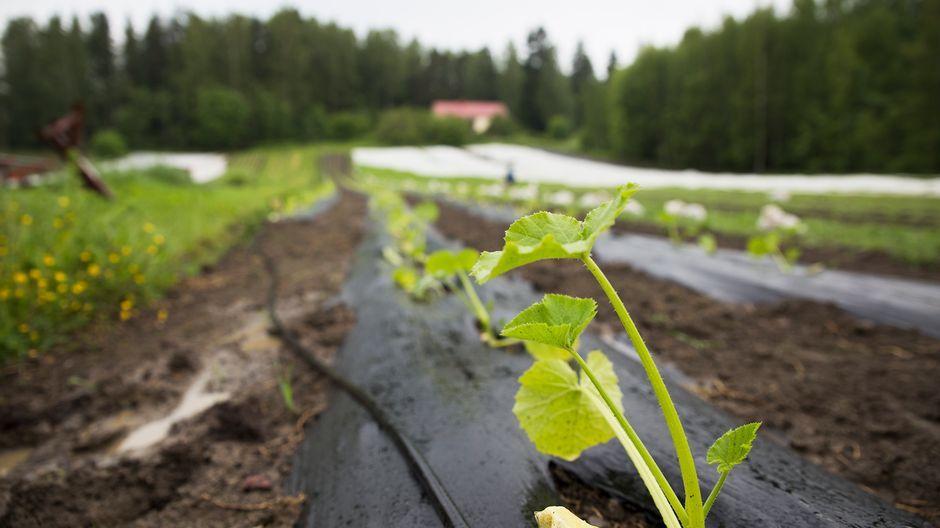 Herttoniemen ruokaosuuskunta päätti yhdessä hankkia pellon kuutisen vuotta sitten. Osuuskunnan idea on se, että jäsenet maksavat osuutensa sadosta etukäteen.